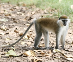 Ape (vervet) Monkey at Balie mountain
